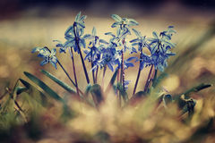 Blue small flowers snowdrops, spring landscape. First stock photos