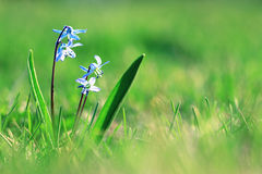 Blue small flowers snowdrops, spring landscape. First Royalty Free Stock Photos