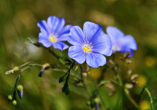 Blue small linseed flax flower Stock Photos