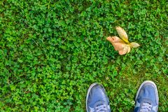Blue Sneakers on Green Grass Lawn. Blue sneakers on a green grass with fallen leaves top view. A view from the first person under the feet to autumn green grass Stock Image