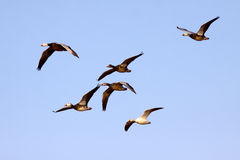 Blue Snow Geese Royalty Free Stock Image