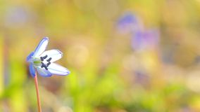 Blue snowdrop blossoming at the beginning of stock footage