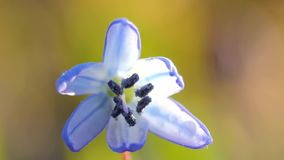 Blue snowdrop blossoming at the beginning of stock video footage