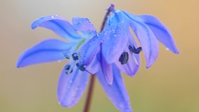 Blue snowdrop blossoming at the beginning of stock video
