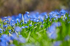 Blue snowdrop Royalty Free Stock Image