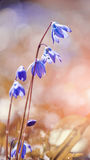 Blue snowdrop Royalty Free Stock Images