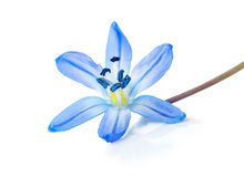 Blue snowdrop isolated Stock Image