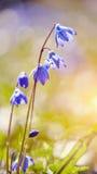 Blue snowdrop - a Scilla Siberica Royalty Free Stock Photos