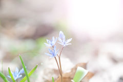 Blue snowdrop Royalty Free Stock Photography