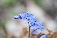 Blue snowdrop Stock Photo