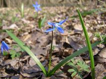Blue snowdrop in spring forest Stock Photography