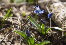 Blue snowdrop in spring forest royalty free stock image