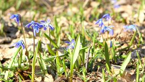 Blue snowdrops ( bluebell ) - first spring flowers stock footage