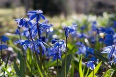 Blue snowdrops, scilla siberica. Blue snowdrops, first spring flowers, scilla siberica Stock Photo