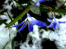 Blue crocuses, spring Royalty Free Stock Image