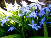 Blue snowdrops Royalty Free Stock Photography