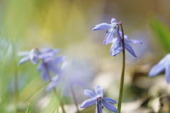 Blue snowdrops in sunny spring day Royalty Free Stock Photos