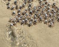 Blue soldier crabs Stock Photos