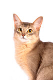 Blue somali cat Stock Photos