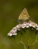Blue Sooty Copper (Lycaena tityrus) Royalty Free Stock Photography