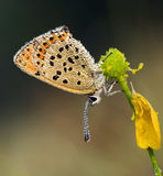 Blue Sooty Copper (Lycaena tityrus) covered. Blue Sooty Copper Butterfly (Lycaena tityrus) covered with early morning drops Stock Photography