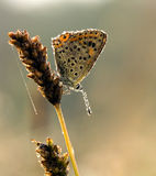 Blue Sooty Copper (Lycaena tityrus) covered. Blue Sooty Copper Butterfly (Lycaena tityrus) covered with early morning drops Royalty Free Stock Image