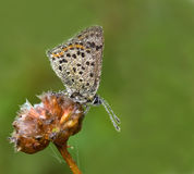 Blue Sooty Copper (Lycaena tityrus) covered stock photo