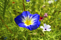 Blue Spanish Bindweed. Convolvulus tricolor, Bavaria, Germany, Europe Royalty Free Stock Images