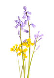 Blue Spanish bluebells and yellow cowslip flowers  on wh Stock Photo