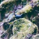 A blue sparrow on a rock royalty free stock photography