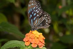 A blue speckled falter sitting directly on an orange blossom drinking nectar with its proboscis. Photographed in a tropical glasshouse with macro lens stock photos