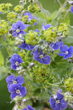 Blue speedwell and alchemilla, healing plants Royalty Free Stock Photo