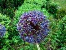 Blue spherical flower stock images