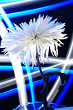 Blue Spider Mum. This image is created by painting with light Royalty Free Stock Images