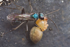 A blue spider wasp with prey Stock Images