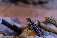 Blue Spiny Lizard- Animal, Living Organism ,Reptiles royalty free stock photos