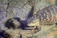 Blue spiny lizard (Sceloporus serrifer cyanogenis) Royalty Free Stock Image