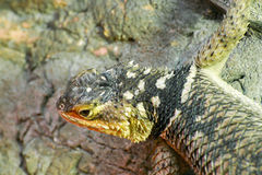 Blue spiny lizard (Sceloporus serrifer cyanogenis) Royalty Free Stock Photography