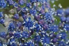 Blue spirea. Blue and white spirea close-up Stock Photos