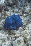 Blue sponge Stock Photos