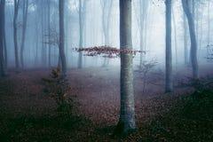 Blue spooky light into foggy forest. Gloomy dark autumn day. Filtered image Stock Photos