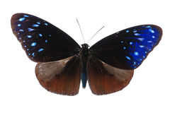 Blue spot crow butterfly royalty free stock photography