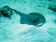 Blue spot sting ray Stock Image