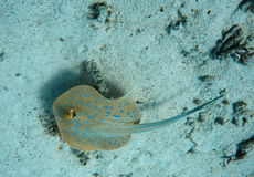Blue spot stingray on the sand Stock Images