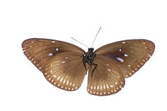 Blue-spotted crow butterfly Royalty Free Stock Photo