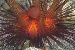 Blue-spotted Fire Urchin stock photos