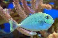 Blue Spotted Fish Stock Photography