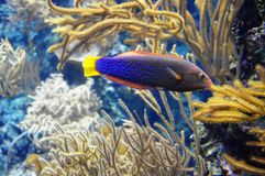 Blue Spotted Fish at Aquarium Royalty Free Stock Images