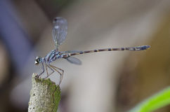Blue-spotted Flatwing damselfly Podolestes orienta Stock Image