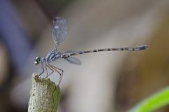 Blue-spotted Flatwing damselfly Podolestes orienta. Lis damselfly Stock Image